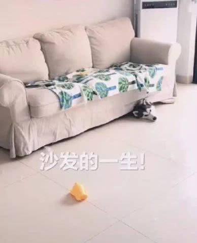 <b>网友养了4只二哈,没想到偶然拍到了沙发的一生,崩溃了!</b>