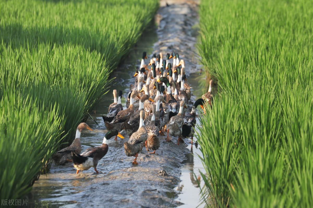 泰国农民放10000只鸭子吃害虫