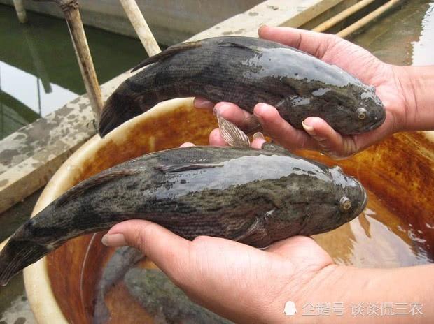 农村这种小河鱼,过去吃不完用来喂鸭,如今全靠人工养殖,100元一斤