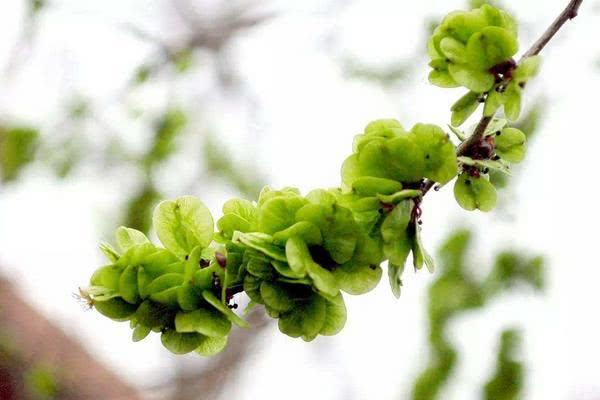 """这三种树的""""花""""八九十年代人经常吃,部分九零后应该也吃过"""