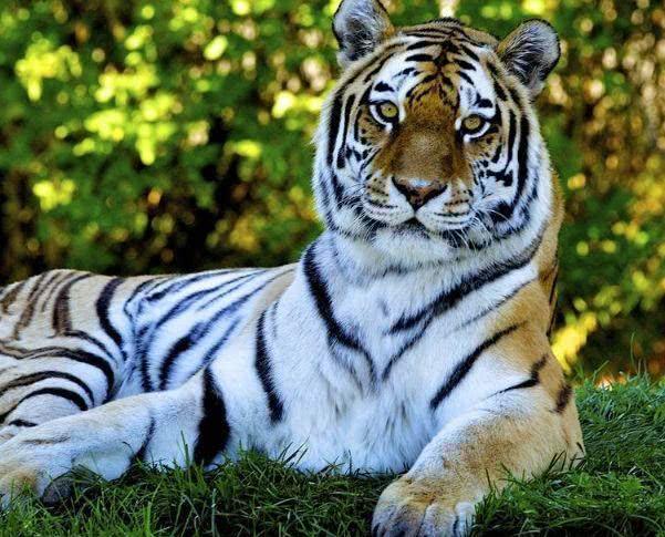 心理测试:选一只你认为最霸气的老虎,测你在男人心中是哪种类型