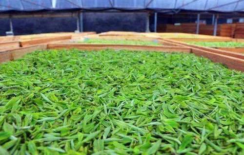 <b>注重品质,但日渐失传的,福鼎白茶古法制茶工艺</b>