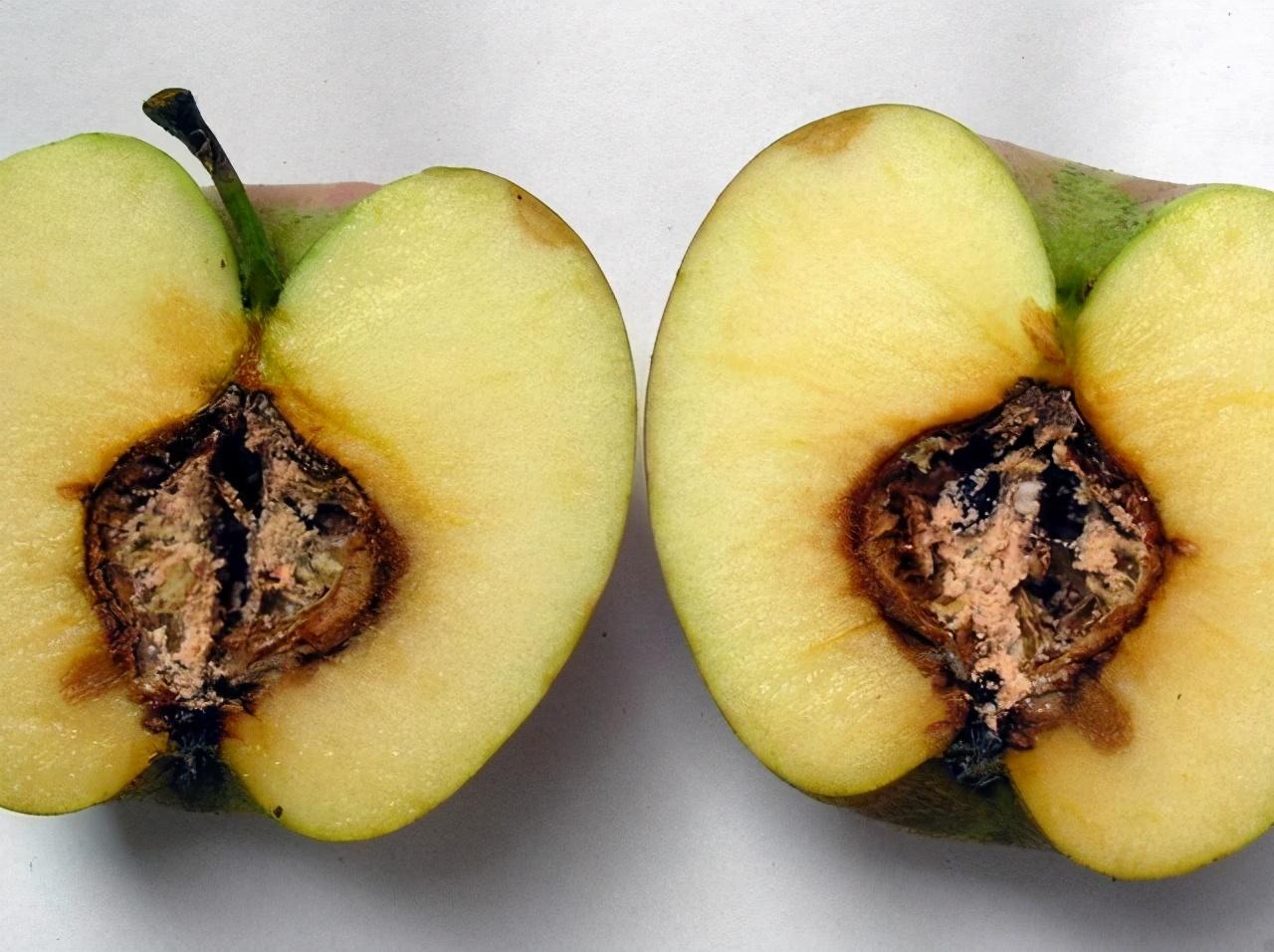 蘋果霉心病導致果實心室發霉,不利于商品價值,如何防治?