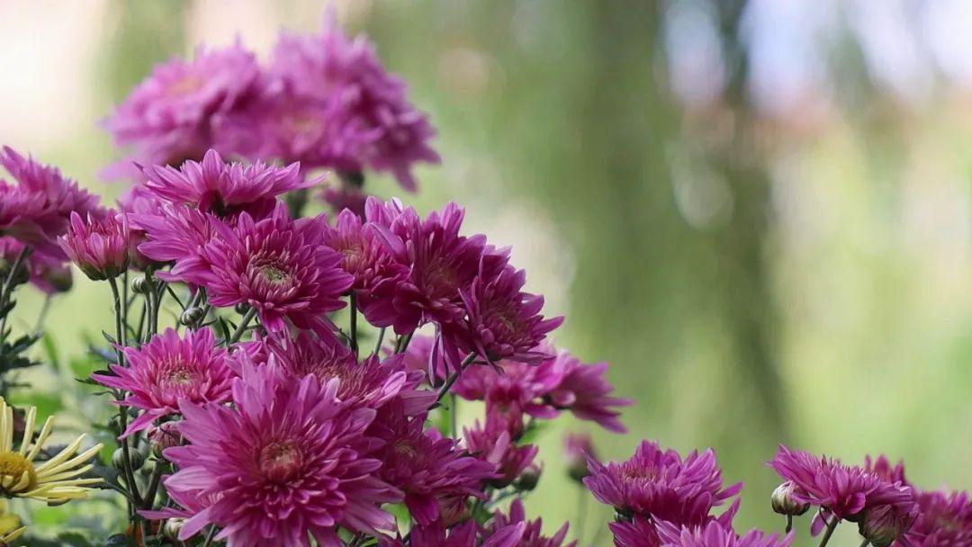 「爱情那么美」除了古城,丽江这个地方的菊花也是那么美!2万余盆菊花此时花开正好……
