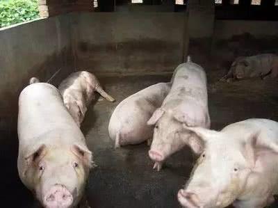 秋冬季猪腹泻?你们知道如何去防治吗?