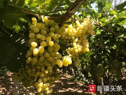 种植方式升级 吐鲁番的葡萄格外甜