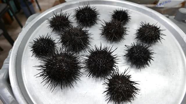 韩国旅行花500元买了11个海胆,看着挺肥,弄出海胆黄后傻了