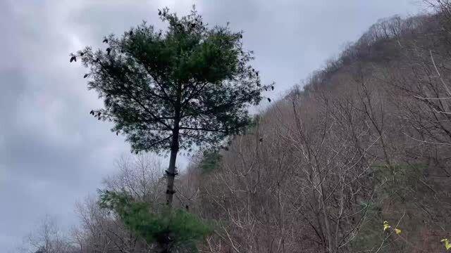 「松子怎么炒又香又好吃」市场上叫价几十元一斤的松仁,大山里随处可摘,就是爬树有点费劲
