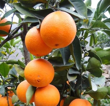 常吃橙子润肺止咳、生津开胃
