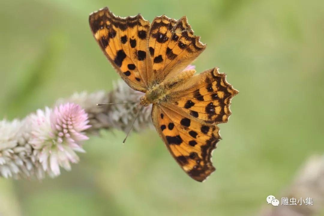 常见昆虫识别歌诀:黄钩蛱蝶