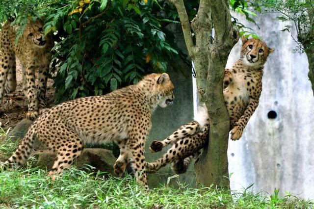 小豹子被卡树中,《五等分的花嫁》作者拿来画了张同人