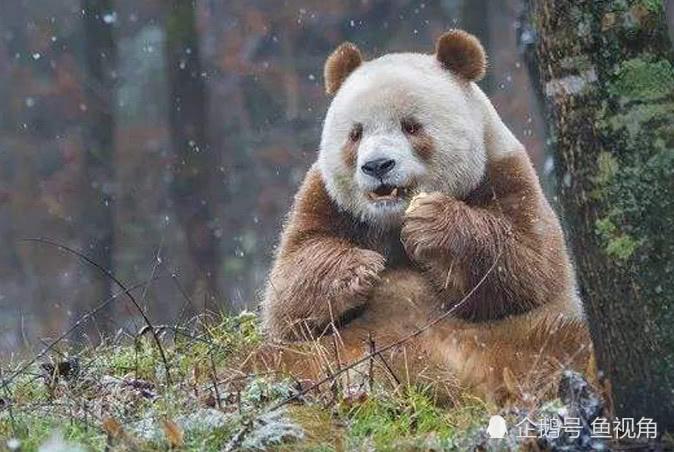 棕色大熊猫秘密破解:和黑白大熊猫不一样,它本身带有棕色!