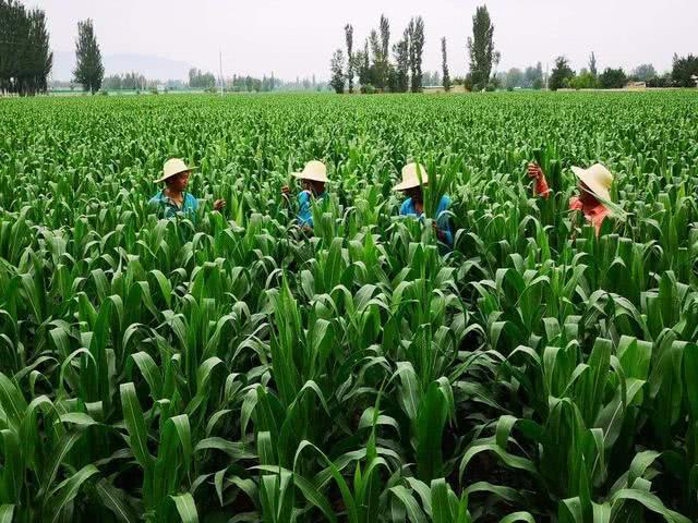 <b>玉米想高产密度要合理,按这些条件去确定,助力丰仓</b>