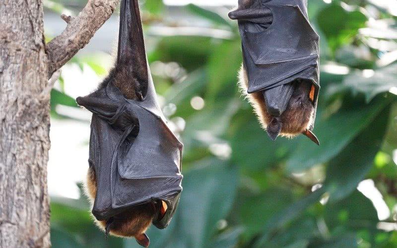 无视当局警告,印尼蝙蝠肉仍供不应求