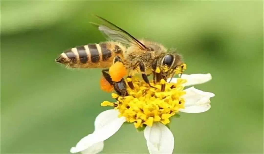 为什么有的蜂蜜没有香味?蜂蜜没有香味是真的吗?