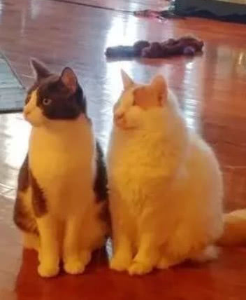 盲猫到新家遭原住猫排挤,主人为它开心,让它自己挑朋友带回家