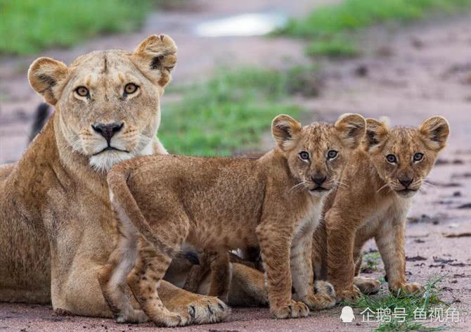 虎毒不食子是真的德动物园母狮产下两崽,3天后突然吃掉!