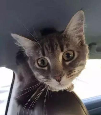 喵星人太萌险成斗犬诱饵!被警局救援后,猫生开挂成治愈系警猫