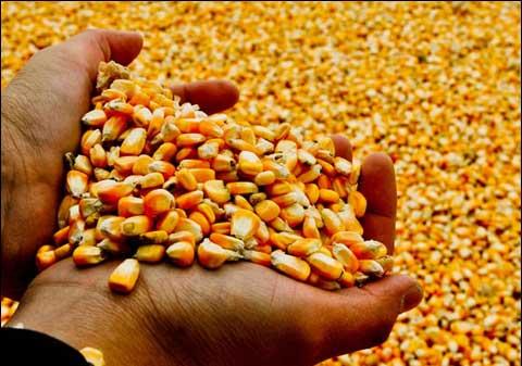 玉米今后市場如何?年該不該繼續種植?