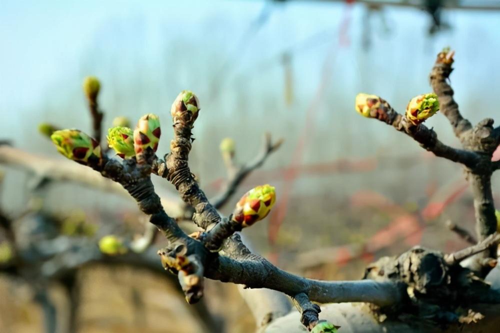 蘋果春季清園下藥還在千篇一律?根據果園實際情況下藥才是王道