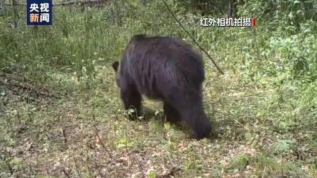 「熊跟老虎哪个厉害」国内首次发现!东北虎吃活熊