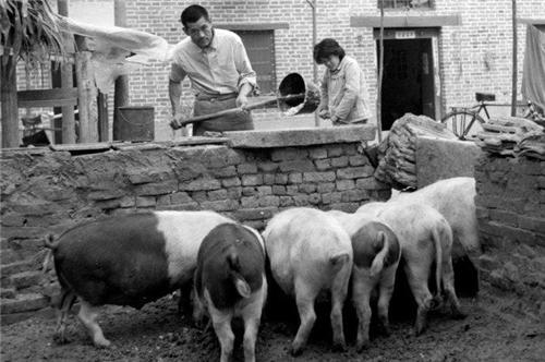 中國養豬變遷史,從農家黑豬到樹皮豬,反思我們的得與失