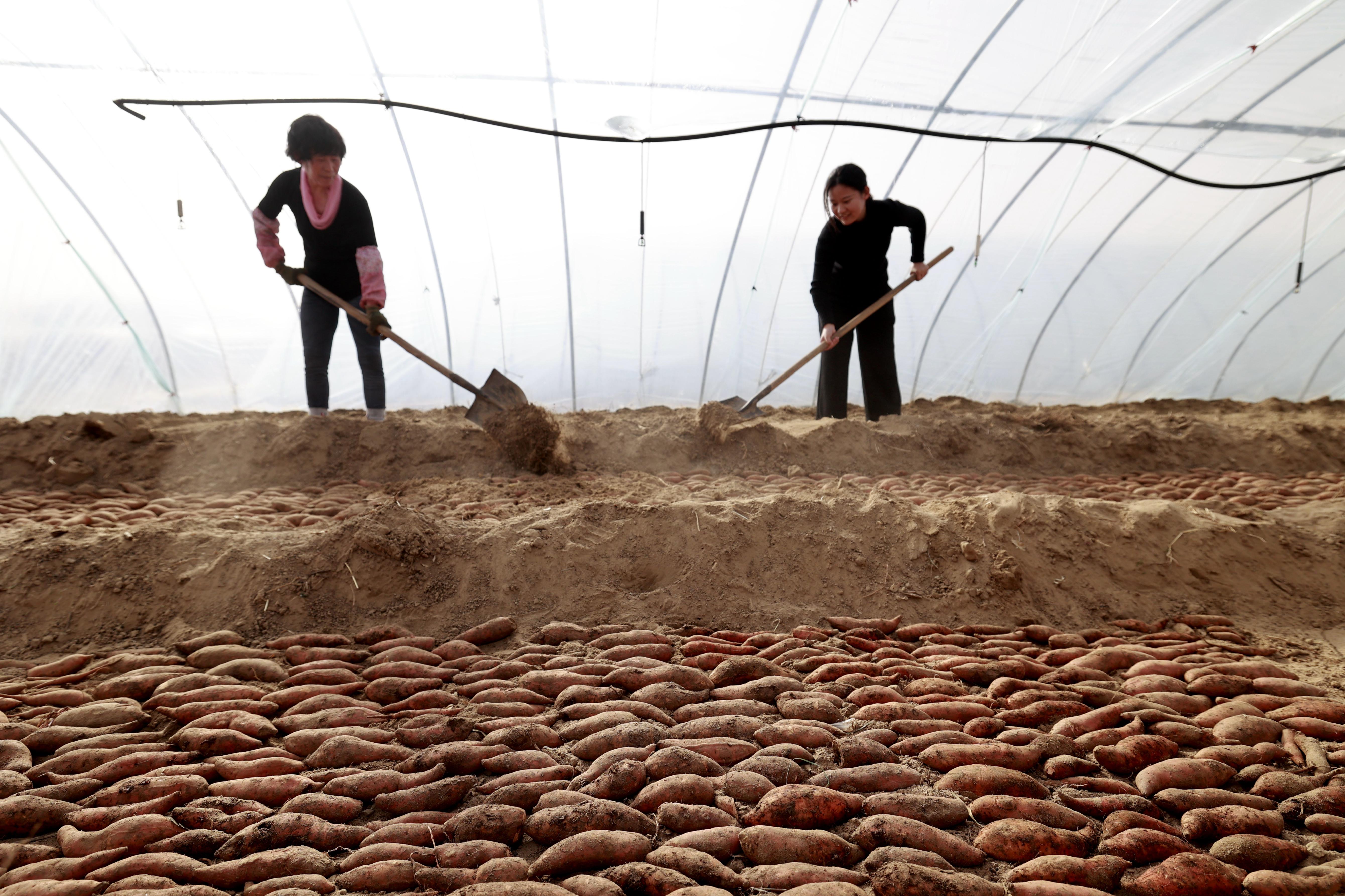 (經濟)河北豐南:紅薯基地育苗忙