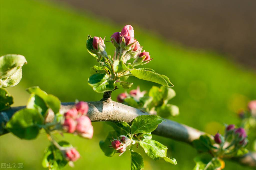 蘋果園春季糞問題多?掌握糞要點,輕松搞定蘋果樹春季糞
