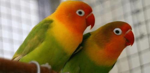 萬只鸚鵡積壓等死,30年的養殖產業竟成非法