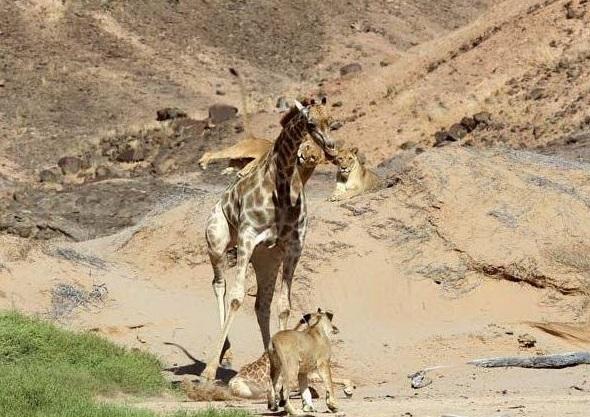 一頭中青年雄獅打得過一只中青年長頸鹿嗎?獅子會不會捕食長頸鹿?