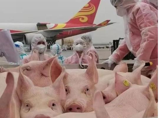 四川一養殖公司計劃從美國引進頭種豬,什么原因讓第一養豬大國還要從國外引種
