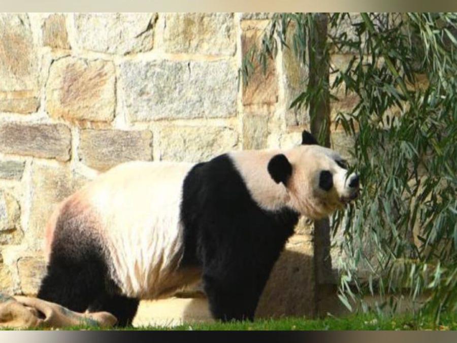 「大熊猫美香和宝宝」大熊猫美香一家三口留美再延长3年!
