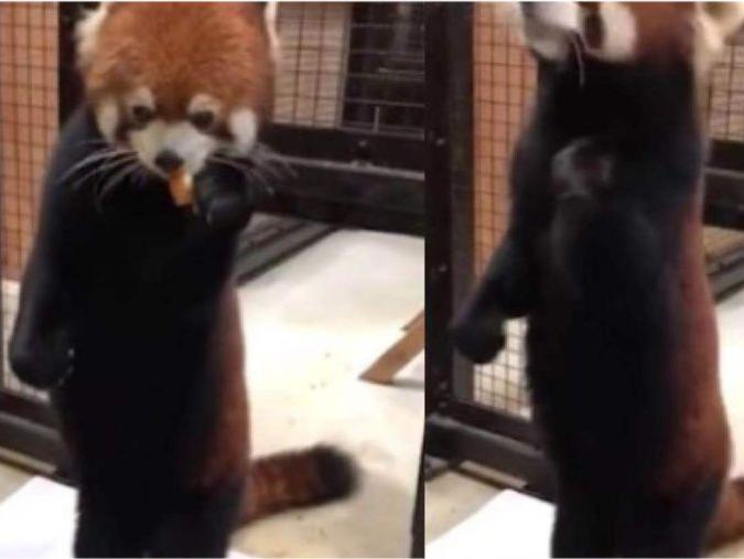 「刚生下来的小熊猫体重是多少」边吃边称体重的小熊猫...真的不是工作人员假扮的吗?