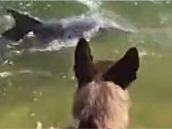 「魅力无挡」谁能抵挡狗狗的魅力!2头海豚看见可爱警犬都要露头打个招呼~