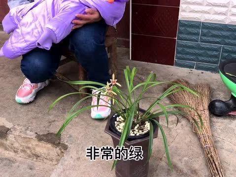「建兰宝岛仙女勤花吗」宝岛仙女,一个台湾的廉价优美兰花进入我们的视野,让人喜欢