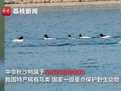 「中国大熊猫有多少只」超珍贵!鸟中大熊猫连续7年越冬被监测到 全球不到1000只