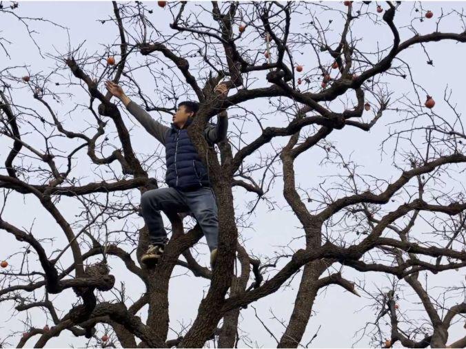 「梦见满树的柿子摘下来吃」柿子本来就不值钱,宁愿爬树摘果也不去街上买,万一摔下来怎么办