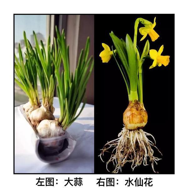 郑州一户居民误食水仙花中毒 120提醒:别把水仙当蒜苗端上餐桌!