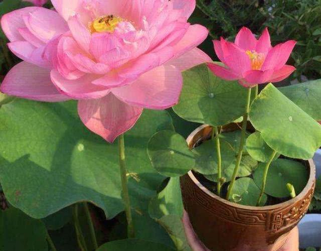 夏天养花这六种花越浇越艳!(图1)