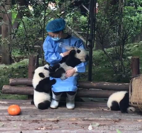 飼養員抱着大熊貓餵奶,旁邊小熊貓的一舉動網友:飼養員太幸福了