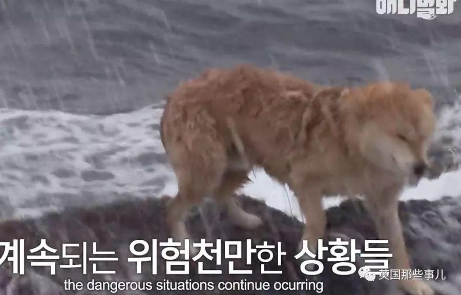 任憑風吹雨打,狗狗每天都守在海邊,而這一切背後….