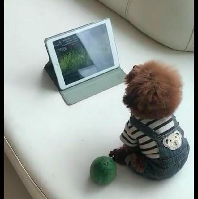 泰迪端坐在平板電腦面前,認真看着電視,看背影還以為是個孩子! 【萌寵治愈師】