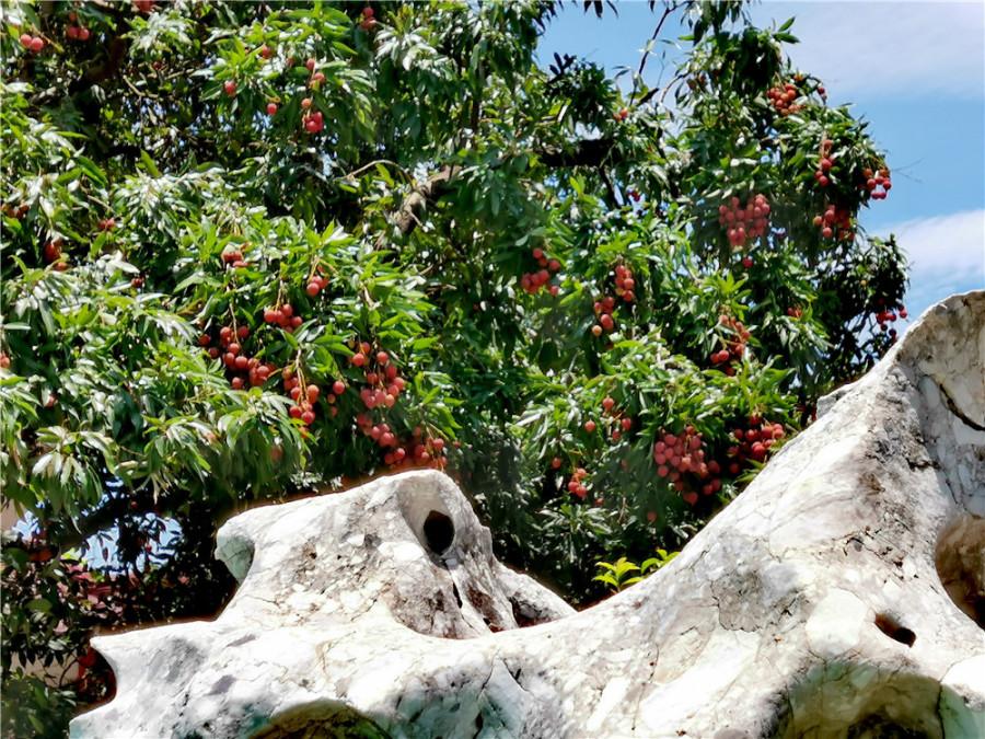 深圳荔枝公园之荔香阁掠影:端庄典雅的建筑与荔枝树相映成趣(图2)